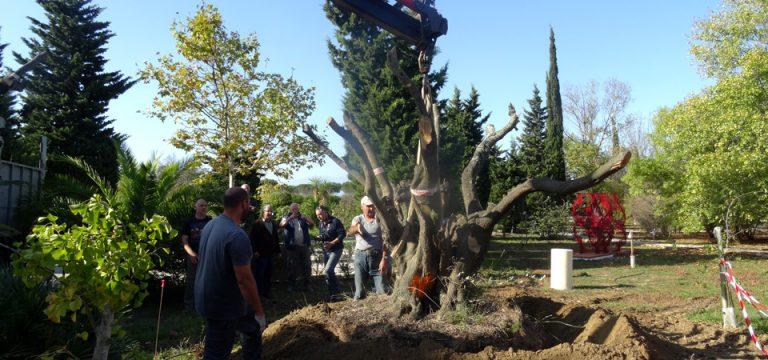 oliviers quadri centenaire