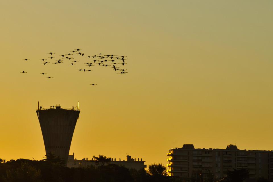 Il n'est pas rare de voir le vol des flamants le matin ou le soir le long de la plage.